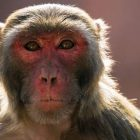 Rhesus